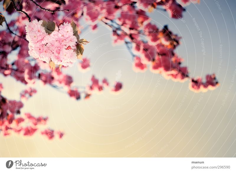 Nature Plant Tree Spring Blossom Pink Beautiful weather Cloudless sky Cherry blossom Spring fever Spring colours Ornamental cherry