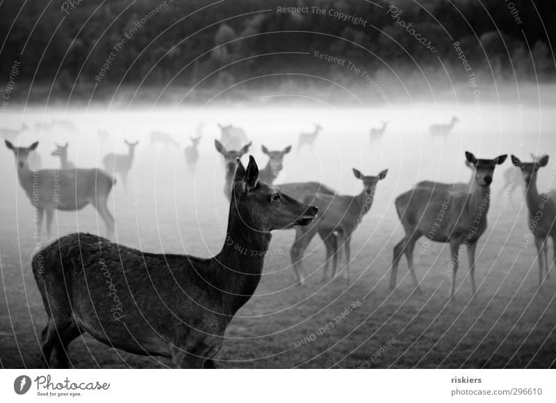 deer in the fog Environment Nature Animal Autumn Fog Meadow Forest Farm animal Wild animal Roe deer Group of animals Herd Observe Wait Curiosity Honor Power