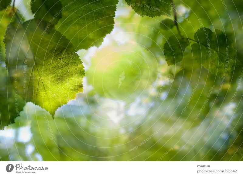 green Nature Spring Summer Tree Leaf Twigs and branches Forest Deciduous tree Deciduous forest Natural Green Environmental protection Colour photo Detail