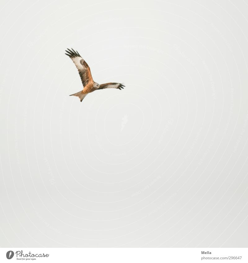 Top Environment Nature Animal Air Sky only Wild animal Bird Kite Red kite 1 Flying Hunting Free Natural Above Gray Esthetic Movement Freedom Search Tall