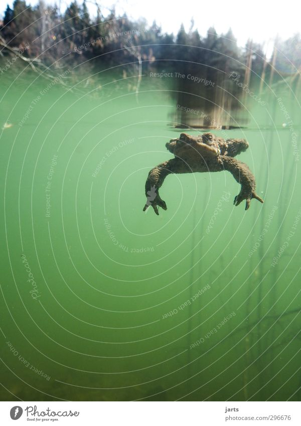 Submerged Plant Animal Water Spring Forest Pond Wild animal Frog 1 Swimming & Bathing Dive Fat Slimy Nature Colour photo Exterior shot Underwater photo Deserted
