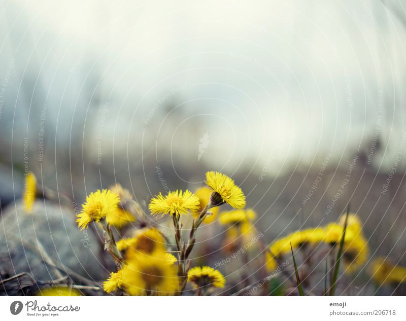Nature Plant Flower Environment Yellow Spring Natural Sow thistle flowers