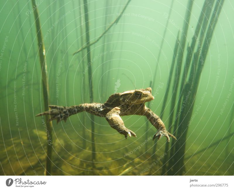 free float Environment Water Spring Pond Animal Wild animal Frog 1 Swimming & Bathing Dive Cool (slang) Nature Hover Underwater plant Colour photo Close-up