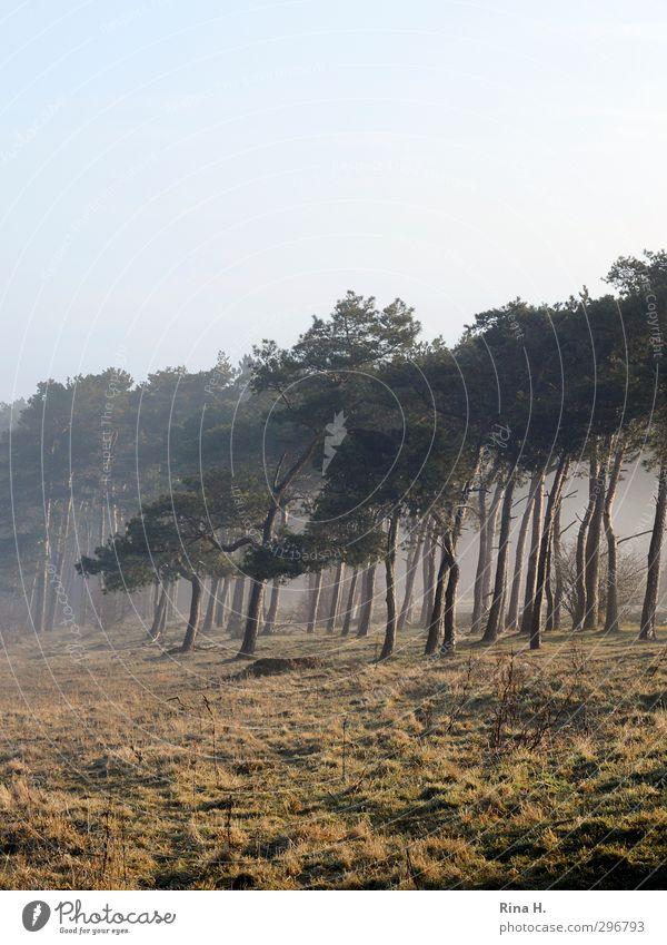 Nature Tree Landscape Forest Meadow Natural Fog Contentment Joie de vivre (Vitality) Pine