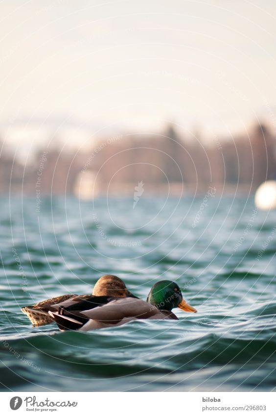 All my ducklings... Nature Landscape Animal Elements Water Summer Beautiful weather Waves Lakeside Wild animal Bird Duck 2 Blue Green Colour photo Exterior shot