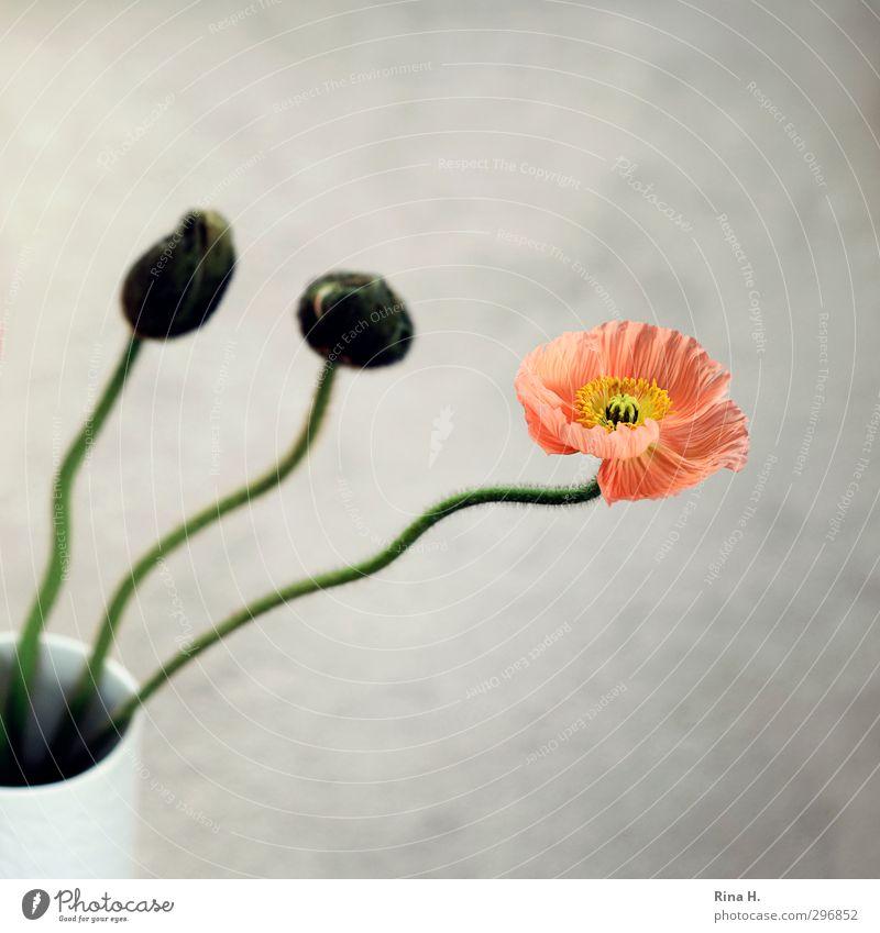 poppy Flower Blossom Poppy Esthetic Bud Stalk Vase Still Life 3 Square Colour photo Interior shot Deserted Copy Space top Copy Space bottom