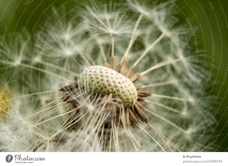 dandelion Environment Nature Plant Summer Flower Foliage plant Garden Meadow Free Happiness Fresh Hope Uniqueness Dandelion Seed plant Macro (Extreme close-up)