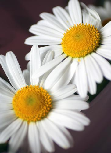 Two daisies Wellness Life Harmonious Environment Nature Plant Spring Summer Flower Blossom Daisy Touch Blossoming Esthetic Authentic Friendliness Brown Yellow