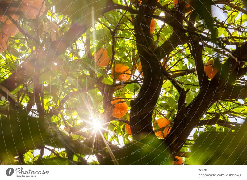 The sun shines through the branches of an orange tree Summer Nature Fresh Healthy Juicy Orange sunbeams copy space food fruit Glitter nobody organic food