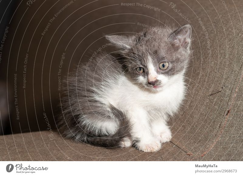 Little cat playing on the home Joy Beautiful Playing Baby Infancy Nature Animal Fur coat Pet Cat Sit Small Funny Cute Soft Gray Red White Kitten Domestic furry