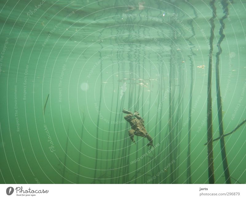 departure Nature Animal Water Spring Pond Wild animal Frog 1 Swimming & Bathing Dive Wet Natural Speed Painted frog Underwater photo Colour photo Exterior shot