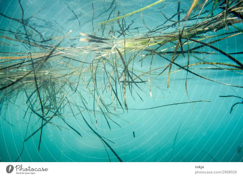 seaweed Nature Plant Water Summer Beautiful weather Grass Seaweed Ocean Surface of water Authentic Natural Blue Green Sea water Underwater photo