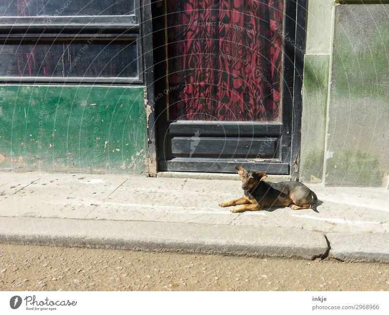 Cuban street dog Deserted Wall (barrier) Wall (building) Facade Window Door Street Sidewalk Animal Pet Dog Street dog 1 Drape Old Authentic Dirty Simple Broken