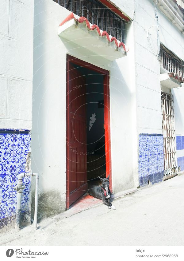 Cuban watchdog Deserted House (Residential Structure) Entrance Wall (barrier) Wall (building) Facade Door Animal Pet Dog 1 Authentic Blue Red White Colour photo