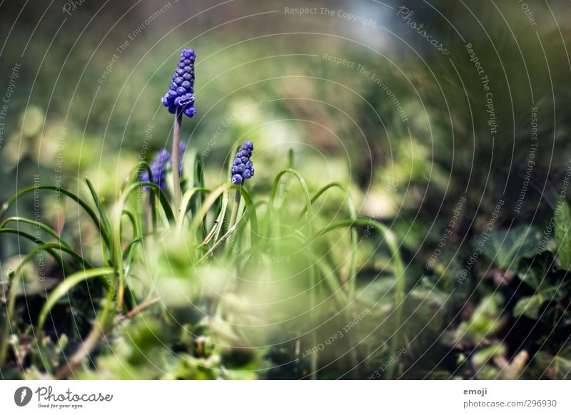 pearl Environment Nature Plant Spring Beautiful weather Flower Grass Natural Green Violet Hyacinthus Muscari Colour photo Exterior shot Close-up