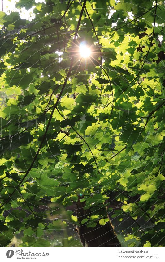 Green ray of hope Nature Plant Water Sun Sunlight Summer Beautiful weather Tree Leaf Maple tree Forest River Nagold Illuminate Friendliness Bright