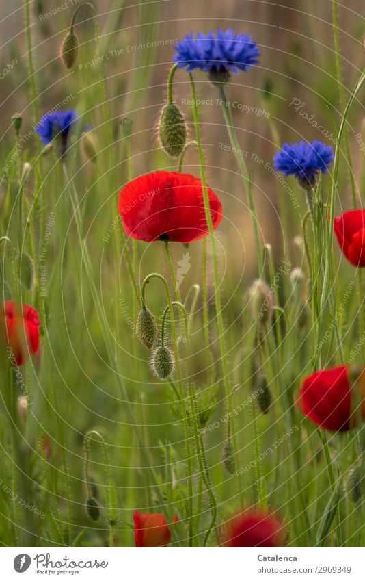 Blue and Red and Green Nature Plant Summer Flower Grass Leaf Blossom Cornflower Corn poppy Garden Meadow Field Blossoming Fragrance Faded Beautiful Orange Moody
