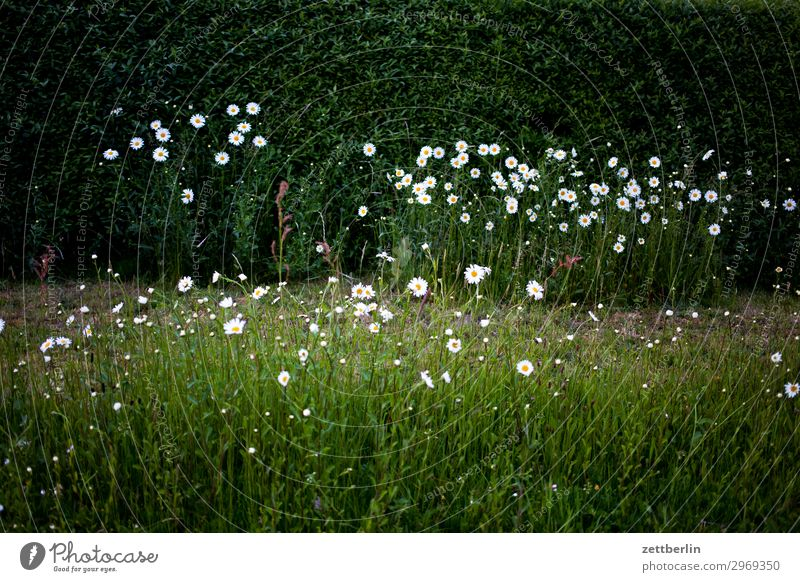 daisies Marguerite Daisy Family Flower Blossom Blossoming Meadow Hedge Plant Nature Garden Front garden Dark Mysterious Romance Deserted Copy Space