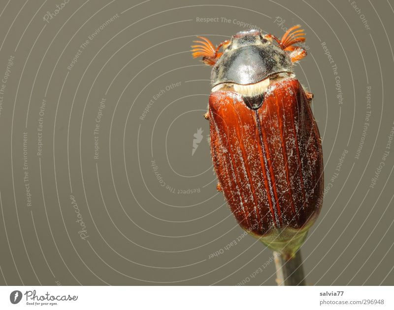 May beetle alone Animal Garden Park Forest Wild animal Beetle 1 To feed Sit Free Glittering Small Naked Above Brown Gray Caution Serene Patient Calm Loneliness