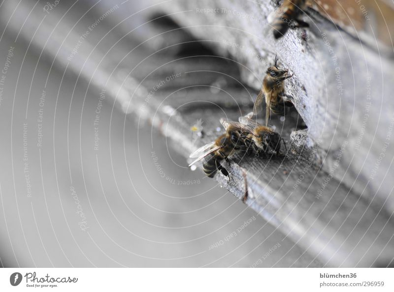 Beautiful Animal Movement Small Work and employment Flying Speed Trip Joie de vivre (Vitality) Insect Peoples Bee Teamwork Carrying Effort Farm animal