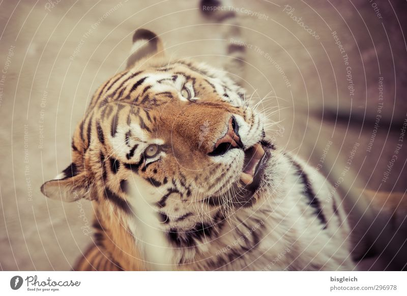 Rooaaarrrr! Zoo Wild animal Animal face Tiger 1 Looking Brown Yellow Power Dangerous Threat Colour photo Exterior shot Deserted Shallow depth of field