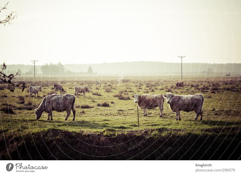 In the country Meat Sausage Nature Landscape Meadow Pasture Farm animal Cow Cattleherd 3 Animal Herd To feed Looking Stand Green Country life Agriculture