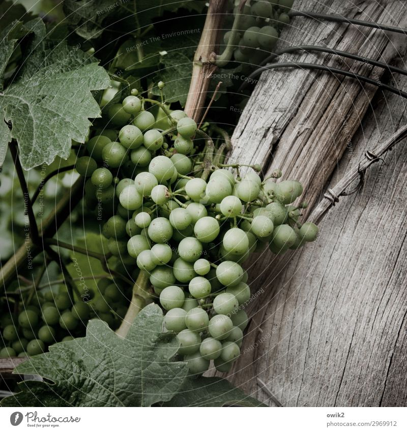 Dry white Environment Nature Plant Agricultural crop Vine Wine growing Bunch of grapes Vine leaf Winery Wood Hang Growth Together Small Near Natural Round Juicy