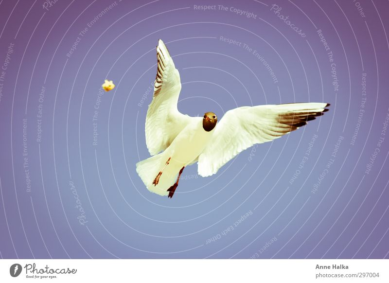 There's something in the air. Bird Wing 1 Animal Free Seagull Gull birds Airplane landing Flying Sailing Hover Feeding Hunting Nutrition Isolated Image Freedom