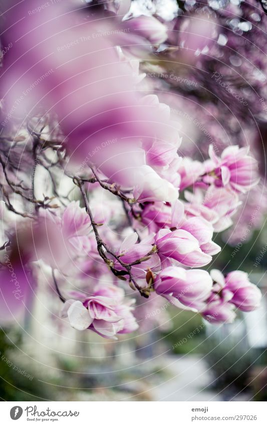 magnolia Environment Nature Spring Tree Flower Blossom Magnolia plants Magnolia blossom Magnolia tree Natural Pink Colour photo Exterior shot Close-up Deserted