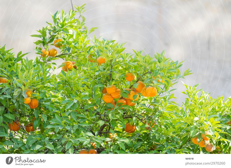 branches of an orange tree with ripe orange Orange Vegetarian diet Summer Nature Eating Healthy Round Juicy sunbeams copy space food fruit Glitter nobody