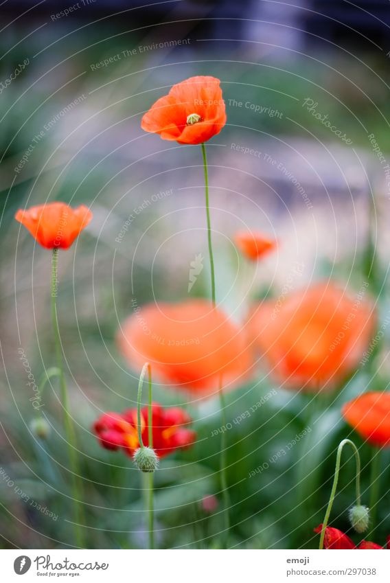 Let's hear it for the gossip poppy Environment Nature Landscape Plant Spring Flower Blossom Natural Green Red Poppy Poppy blossom Corn poppy Colour photo