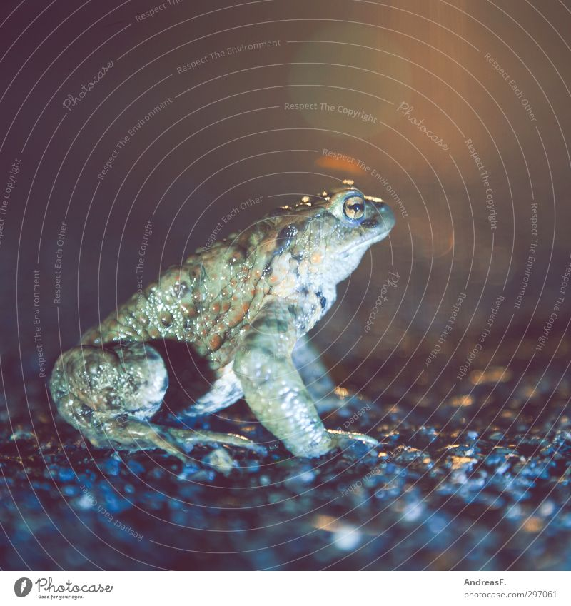 worm's-eye view Frog 1 Animal Sit Hiking Painted frog Toad migration Street Colour photo Copy Space top Evening Night Worm's-eye view