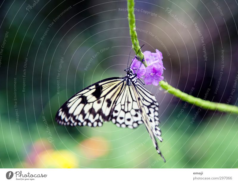 butterfly Plant Flower Blossom Animal Wild animal Butterfly 1 Free Natural White tree nymph Noble butterfly Colour photo Exterior shot Macro (Extreme close-up)