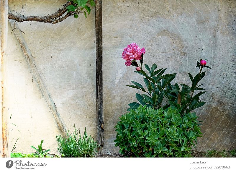 Peony in an old garden Plant Summer Flower Vine Garden Village House (Residential Structure) Wall (barrier) Wall (building) Facade Pentecost Bright Historic