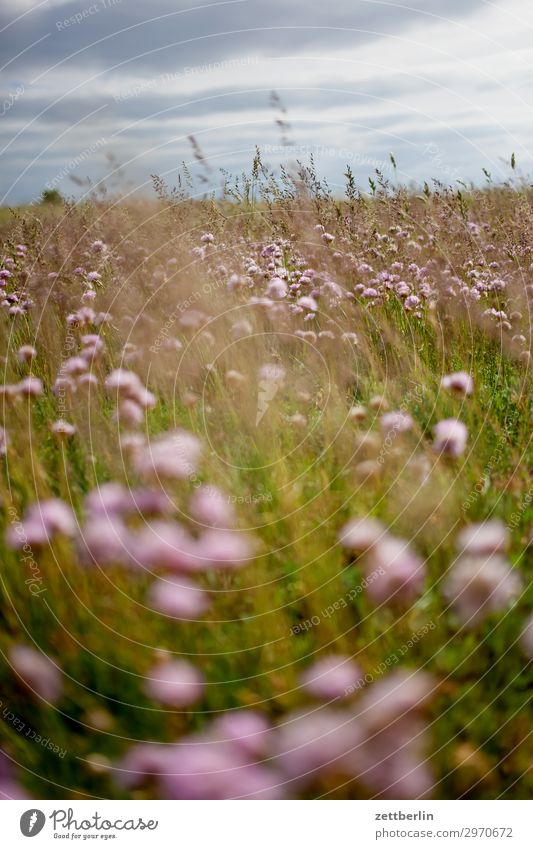 dry meadow Meadow Flower Blossoming Clover Vacation & Travel Island Coast Mecklenburg-Western Pomerania good for the monk Nature Baltic Sea Baltic island