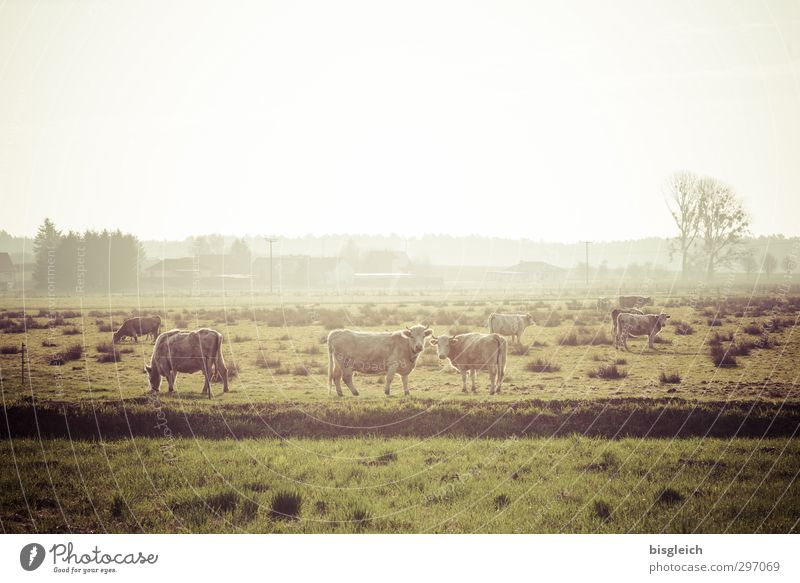 On land II Meat Sausage Organic produce Farm Nature Landscape Meadow Field Cow 3 Animal Herd Looking Stand Happy Green Colour photo Subdued colour Exterior shot