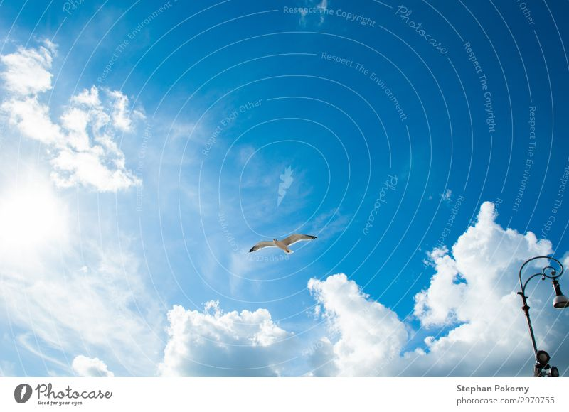 seagull with blue sky and some clouds as background Animal Wild animal Bird Wing 1 Flying Authentic Blue White Serene Air Clouds Sky Seagull Colour photo