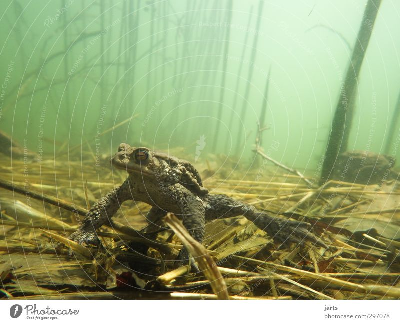toad Nature Plant Animal Spring Summer Pond Lake Wild animal Frog 1 Swimming & Bathing Observe Dive Calm Restful Colour photo Exterior shot Underwater photo