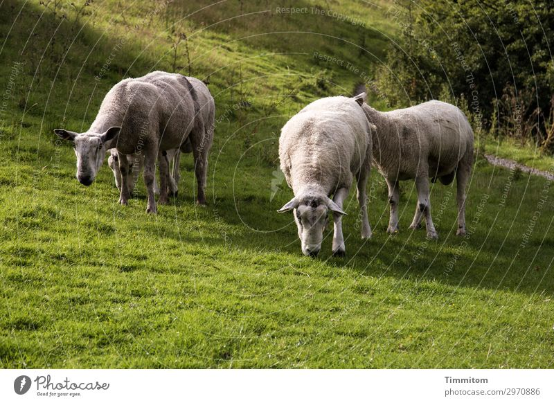 Böcke-Twin-Groups Vacation & Travel Environment Nature Landscape Animal Beautiful weather Grass Bushes Park Meadow Hill Great Britain Sheep Buck 4