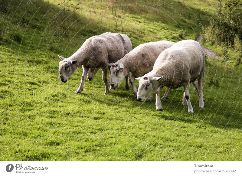 Böcke-Four of a Mountain Vacation & Travel Environment Nature Landscape Animal Beautiful weather Grass Bushes Park Meadow Hill Great Britain Sheep Buck 4