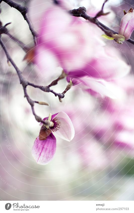 magnolia Environment Nature Plant Spring Tree Flower Blossom Pink Magnolia tree Magnolia blossom Colour photo Exterior shot Macro (Extreme close-up) Deserted