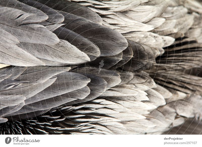 feather decoration Environment Nature Animal Spring Bird Zoo 1 Aggression Esthetic Sharp-edged Elegant Exotic Free Gray Black Silver White Pelican Wilderness