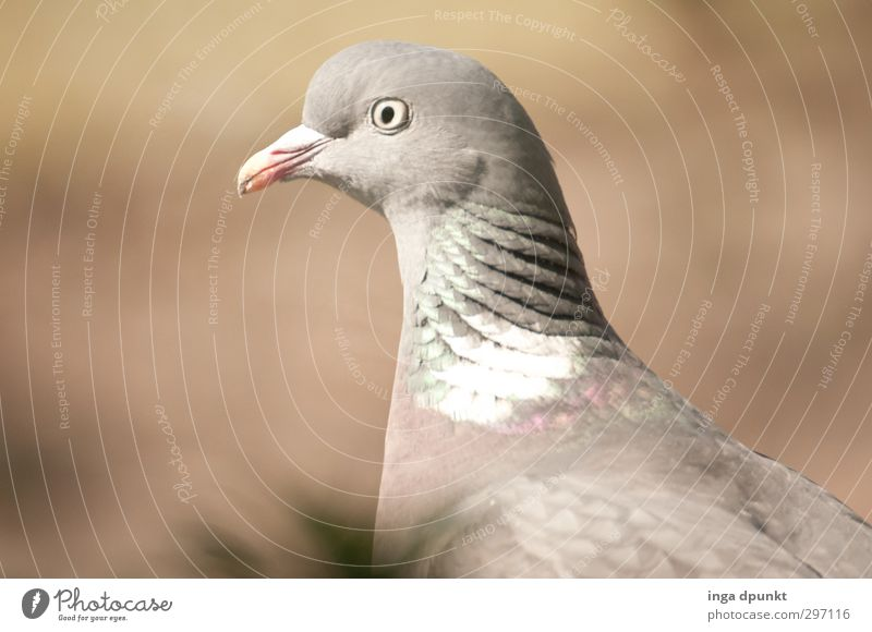Friendly Environment Nature Animal Animal face Wing Pigeon Bird Homing pigeon Migratory bird 1 Friendliness Beautiful Gray Calm Patient Peaceful Looking Eyes
