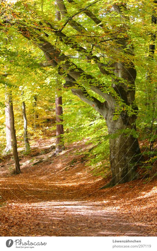 Blessed Way Nature Sun Autumn Beautiful weather Plant Tree Leaf Beech tree Forest Lanes & trails Esthetic Friendliness Bright Natural Yellow Green Orange Moody