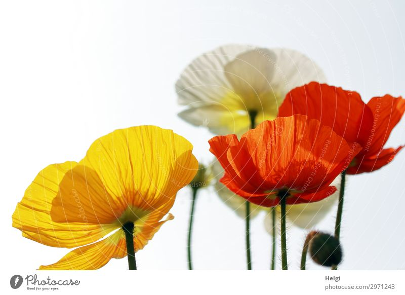 red, yellow and white blossoms of poppies in backlight Environment Nature Plant Spring Beautiful weather Flower Blossom Poppy Poppy blossom Bud Stalk Garden