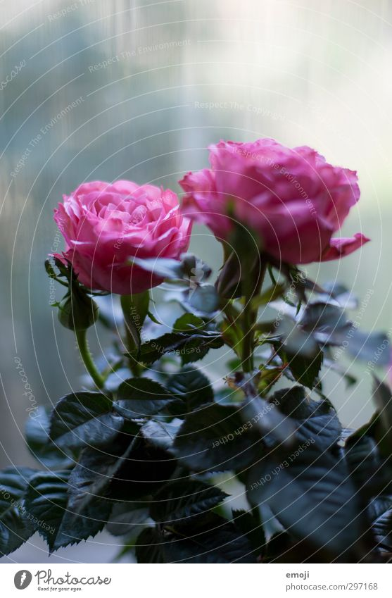 Cool Environment Nature Plant Spring Flower Rose Blossom Cold Natural Pink Colour photo Exterior shot Deserted Copy Space top Day Shallow depth of field