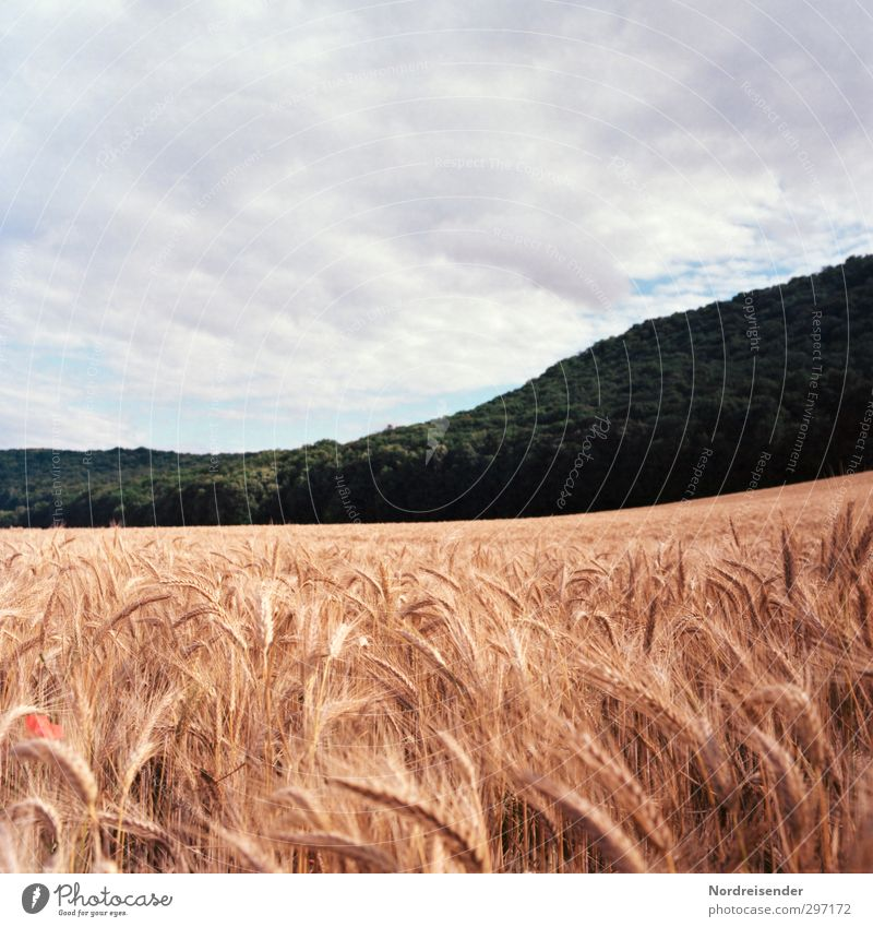 summer Food Grain Organic produce Life Senses Agriculture Forestry Landscape Plant Sky Summer Climate Weather Agricultural crop Field Hill Growth Fragrance Hope