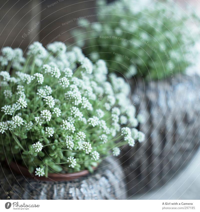White Plant Flower Spring Garden Decoration Blossoming Flowerpot