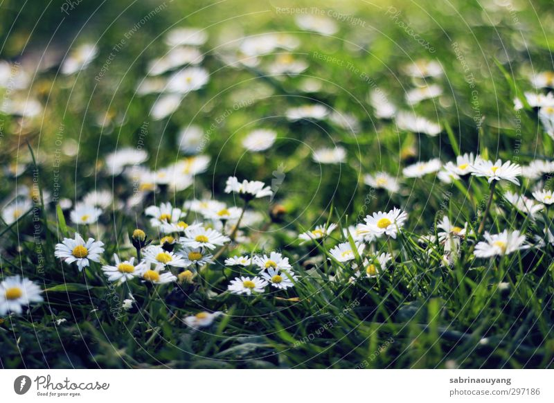 Summer Daisy Nature Green Beautiful White Plant Environment Yellow Love Grass Spring Blossom Natural Dream Field Fresh