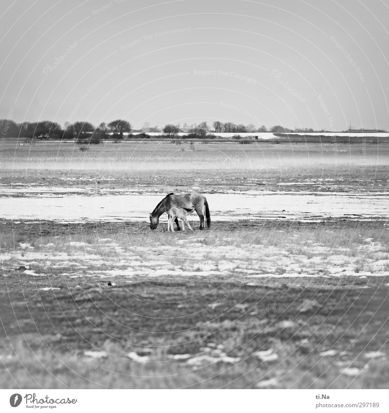 New Life Landscape Winter Beautiful weather Ice Frost Snow Nature reserve Dithmarschen storage cookie Schleswig-Holstein Wild animal Horse conic Wild horses 2